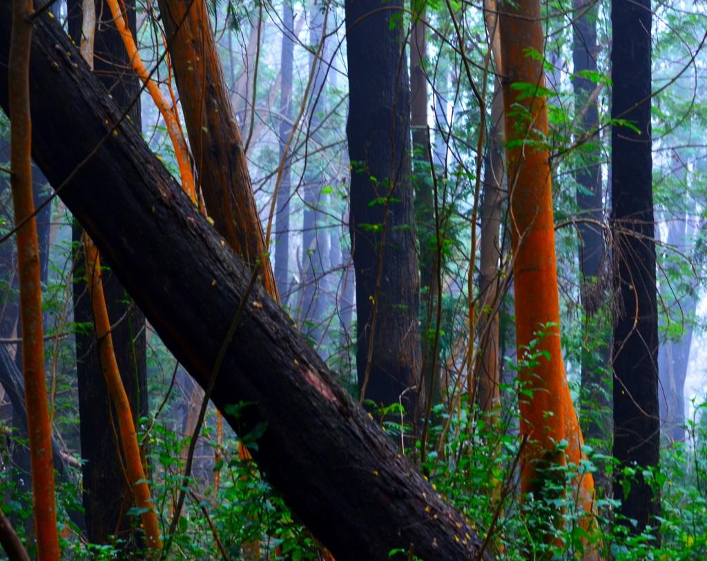 Orange barked Trees
