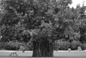 Tree in Haleiwa szd