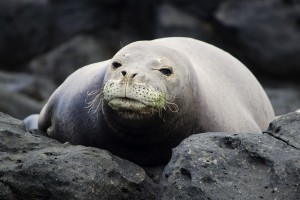 Monk seal girl close up