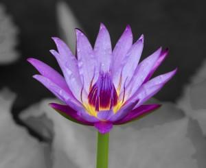 Temple Lotus