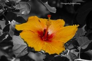 Orange Hibiscus Kauai